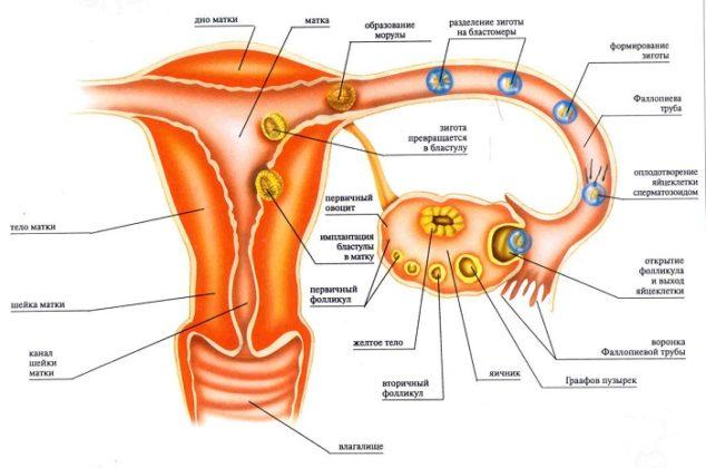 может ли оплодотворенная яйцеклетка выйти с месячными