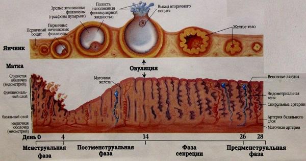 Матка и яичник в процессе овуляции