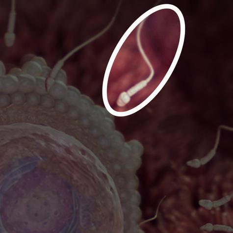 сперматозоиды попадают в фаллопиевы трубы