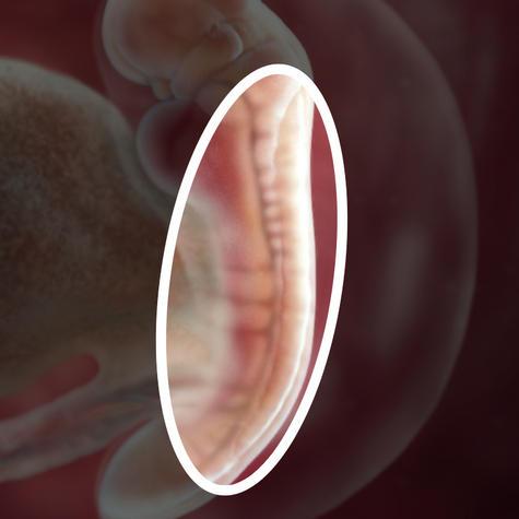 Нервная трубка на 5 неделе беременности