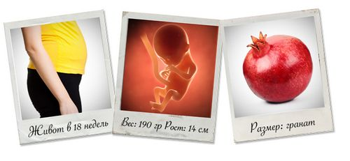 живот на 18 неделе беременности