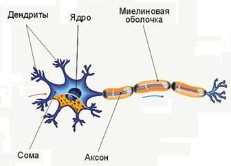 миелиновая оболочка нервной клетки