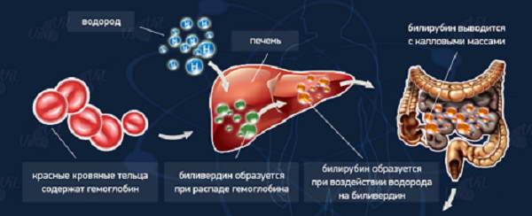 Образование биллирубина в организме