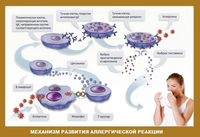 иммунная-система-при-пищевой-аллергие