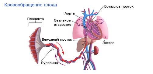 Кровообращение плода в утробе