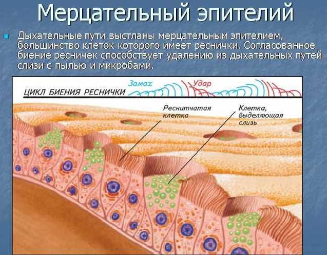 реснитчатый эпителия дыхательных путей